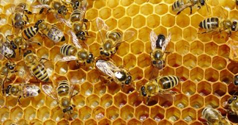 arıların özellikleri