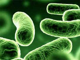 bakteriler