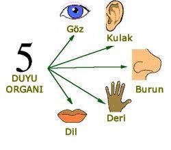 beş duyu organı
