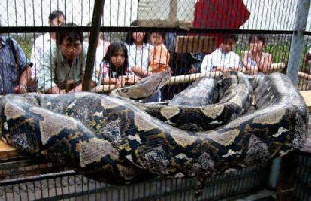 dünyanın en büyük yılanı