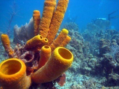 deniz süngerleri