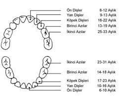 diş çeşitleri
