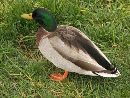 erkek ördek