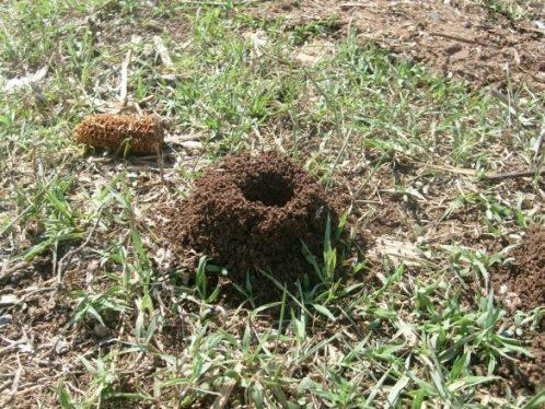 karınca yuvası