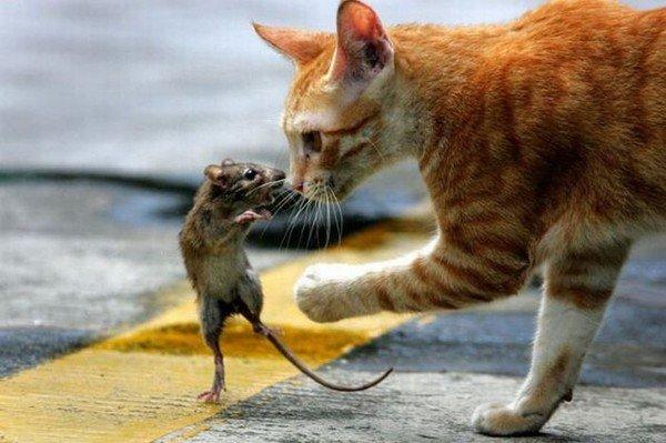 kedi fare oyunu