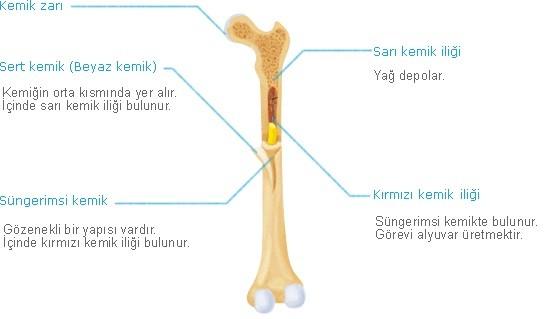 kemiğin yapısı