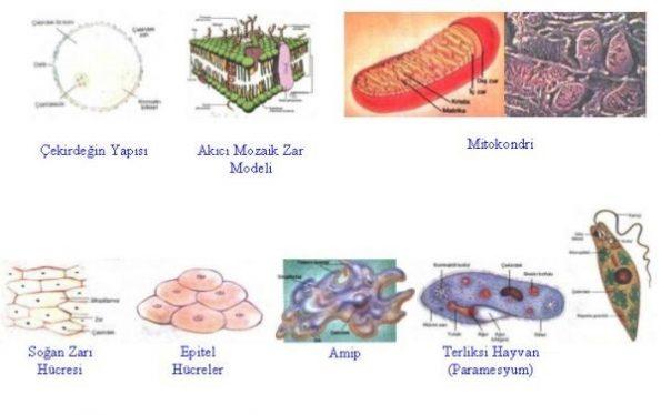 tek hücreli canlılar