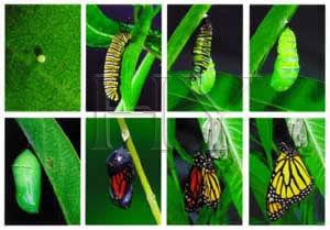 tırtıl kelebek